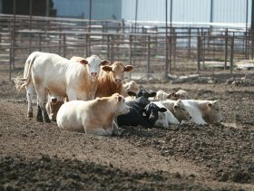 Smaller meat processors face backlogs as coronavirus continues to shutter large slaughterhouses