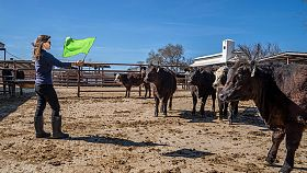 Understanding cattle personality may help keep rangeland productive, sustainable
